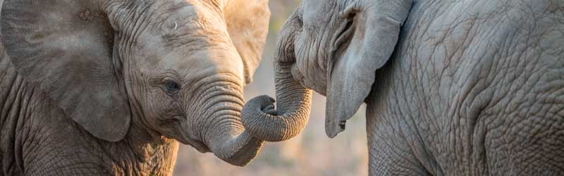 Two elephants holding tusks